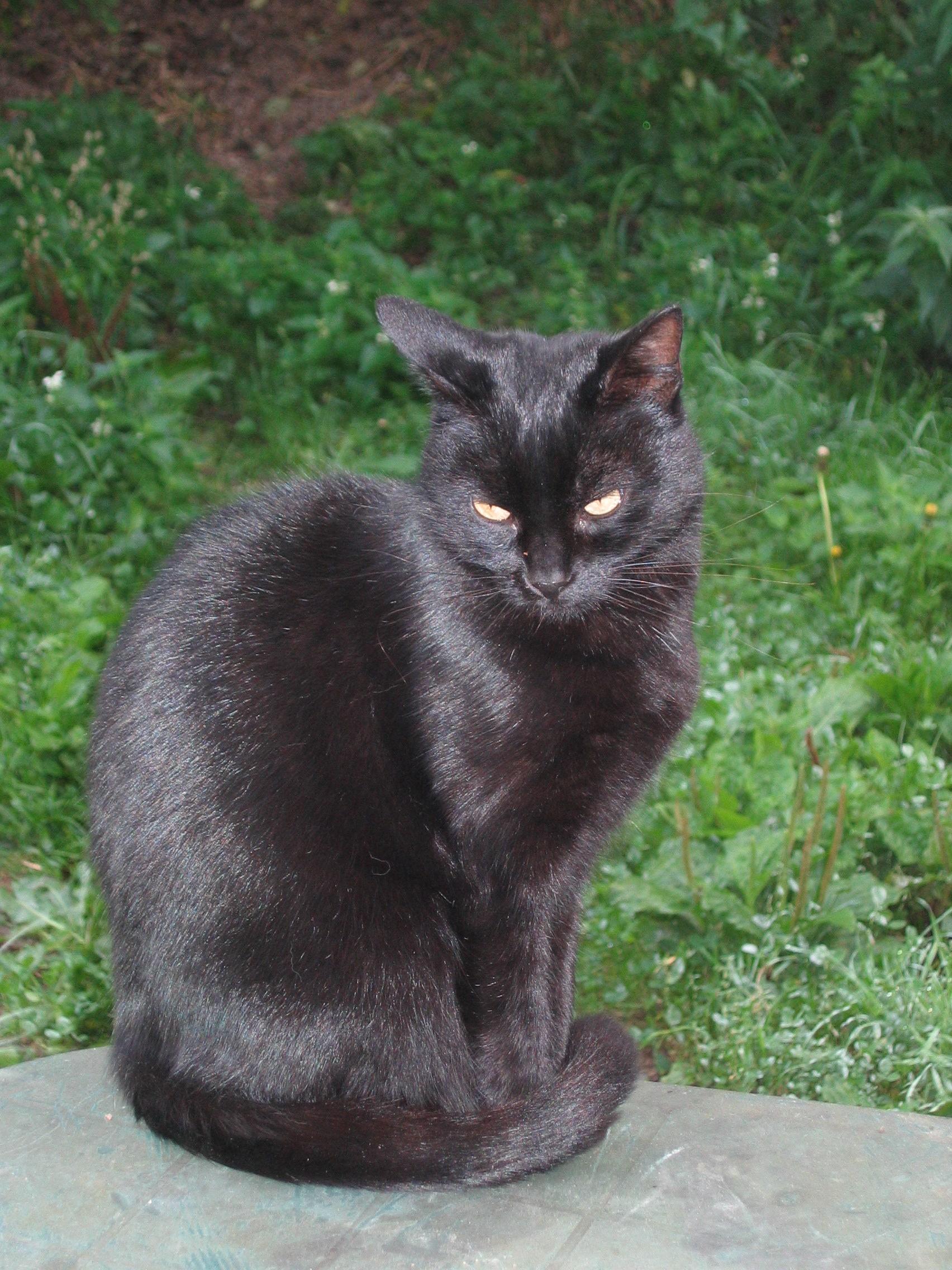 coryza du chat traitement antibiotique